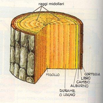 Il tronco di legno e la sua struttura dalla corteccia al for Pianta con la c
