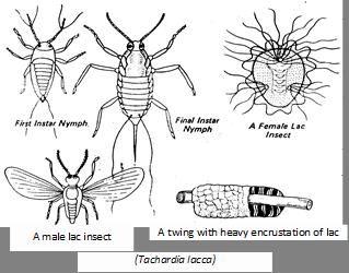 insetto gommalacca